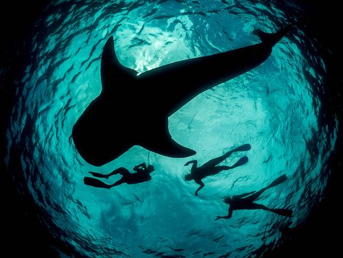 Whale shark silhouette off Mexico by Simon Pierce