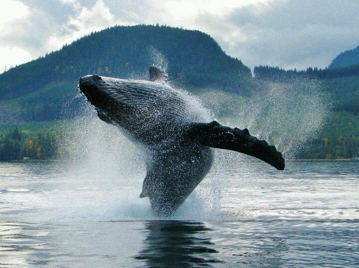 Breaching Whale, Campbell River, BC, Canada