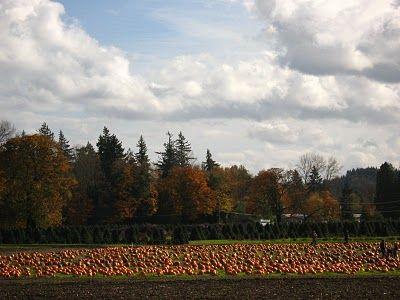 Pumpkin field in October