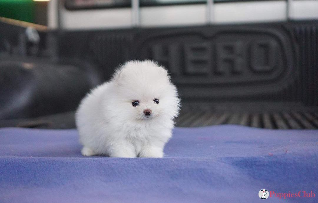 Teacup Pomeranian Puppies  #teacuppomeranianpuppy Cutest Teacup Pomeranian Puppies. #teacup #pomeranian #teacuppomeranian #micropomeranian #teacuppom #minipomeranian #teacuppomeranianpuppy Teacup Pomeranian Puppies  #teacuppomeranianpuppy Cutest Teacup Pomeranian Puppies. #teacup #pomeranian #teacuppomeranian #micropomeranian #teacuppom #minipomeranian #teacuppomeranianpuppy Teacup Pomeranian Puppies  #teacuppomeranianpuppy Cutest Teacup Pomeranian Puppies. #teacup #pomeranian #teacuppomeranian #teacuppomeranianpuppy