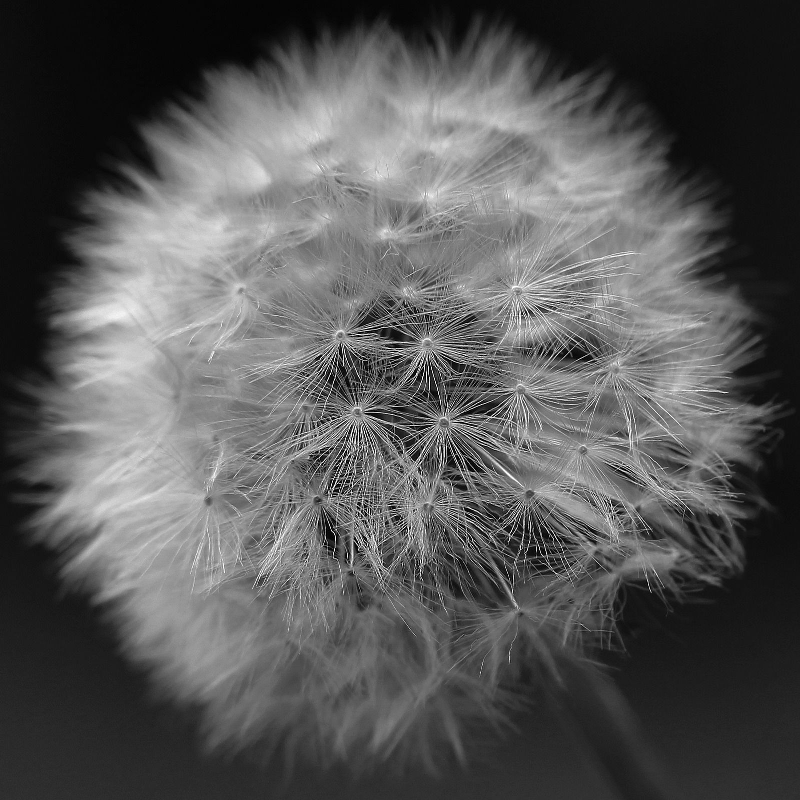 https://flic.kr/p/D5txw4 | Dandelion BW [Project 365 2015 Reject] | I have a folder full of reject shots that never made it to the featured shot on the day in 2015, and never got the TLC needed to put them onto Flickr. I'll work my way through them, and upload a few that are worth keeping.