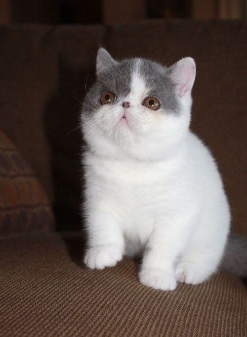 cat-breeds - E - Exotic Shorthair - Page 5