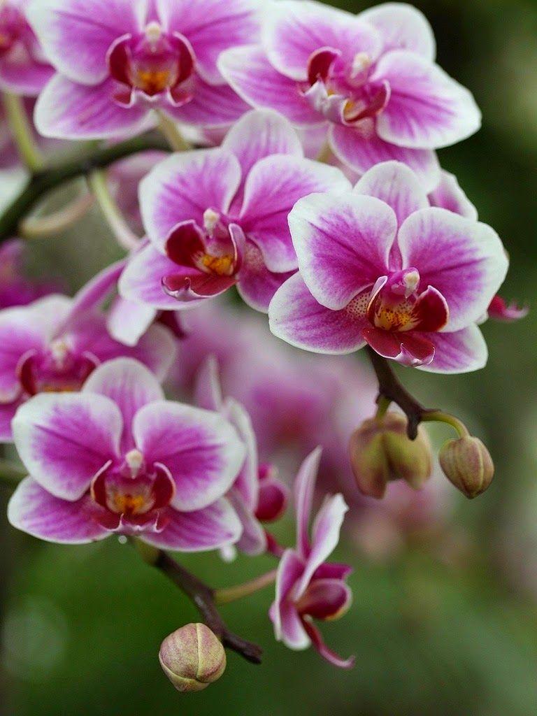 flor de orquidea orquídeas pinte