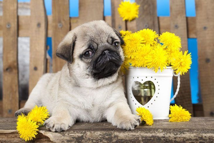 Pug Names For The One Of A Kind Male Or Female Cute Pugs Pug
