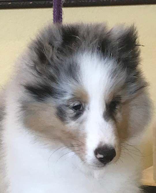 Kismet Kennels Available Sheltie Shetland Sheepdog Kennel