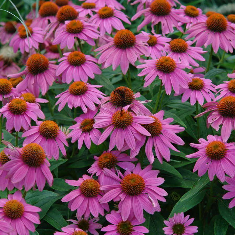 Echinacea Powwow Wild Berry Cottage Garden Plants Low Water Gardening Plants
