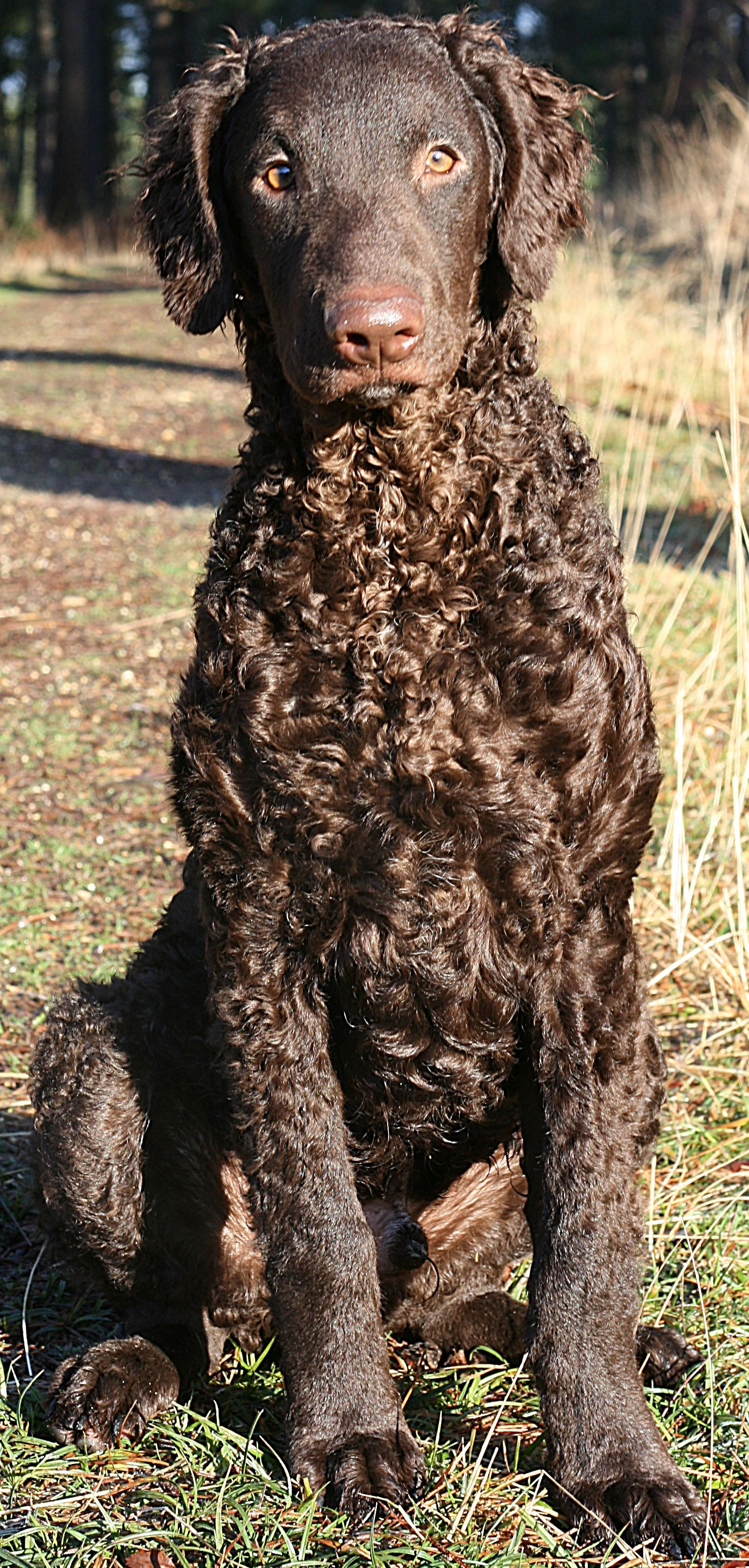 Curly Coated Retriever Considered One Of The Oldest Retriever