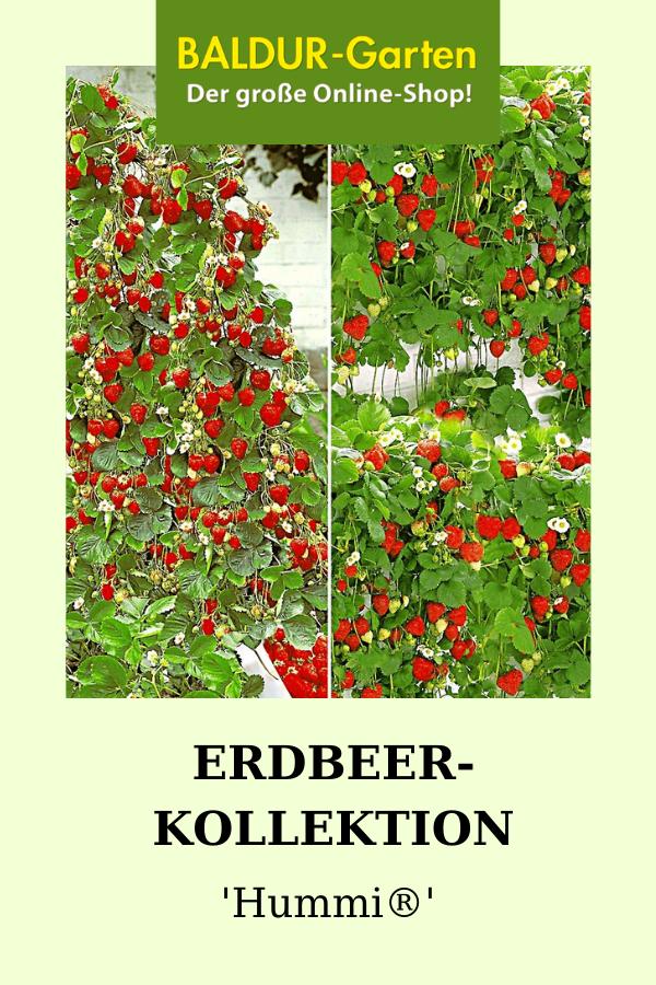 Erdbeer Kollektion Hummi 1a Qualitat Baldur Garten Erdbeerpflanzen Pflanzen Erdbeeren