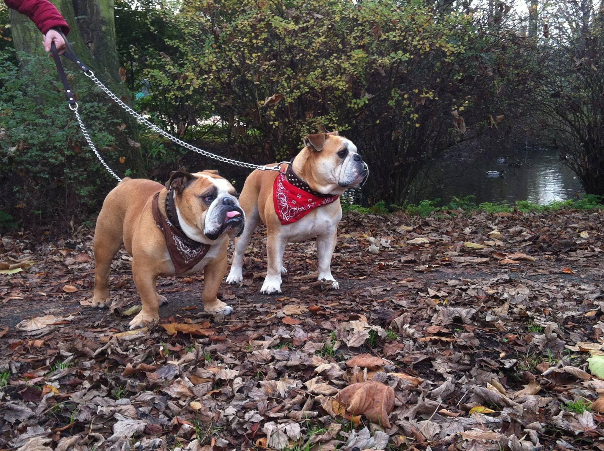 Baggy Bulldogs Rescue Nederland Bulldog Rescue Dogs Pets