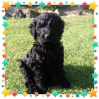 Stunning F1b Labradoodle Puppies N Ireland For Sale In Antrim