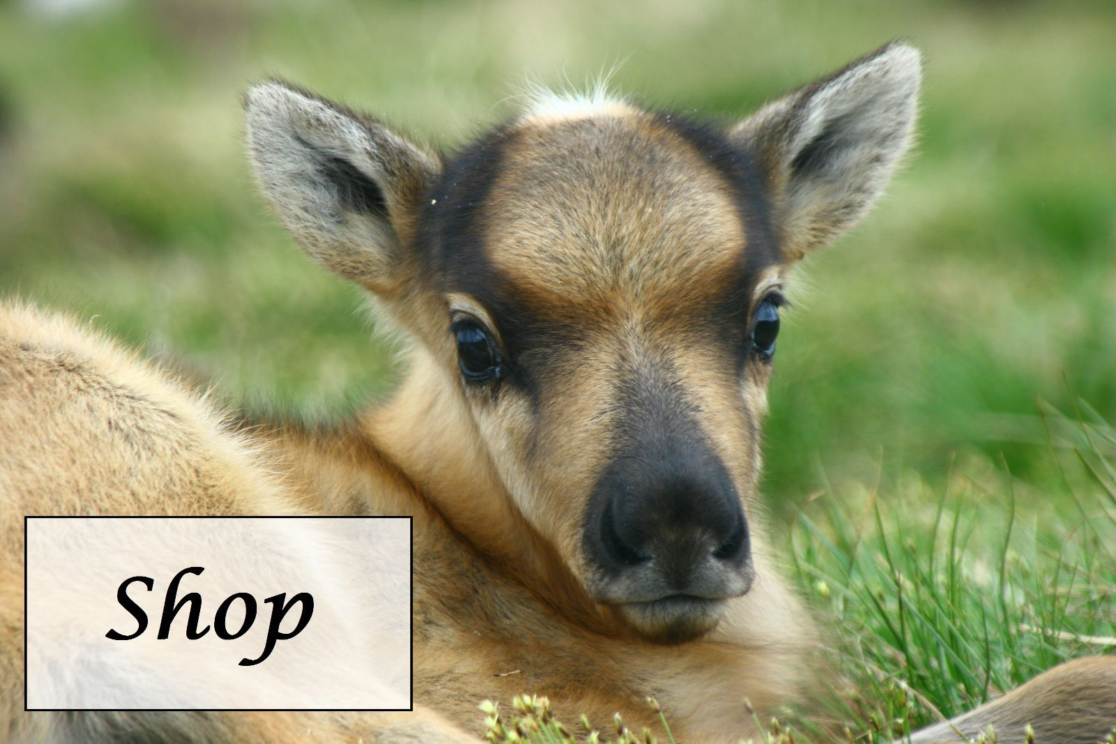 image result for reindeer photos - Pictures Of Reindeer