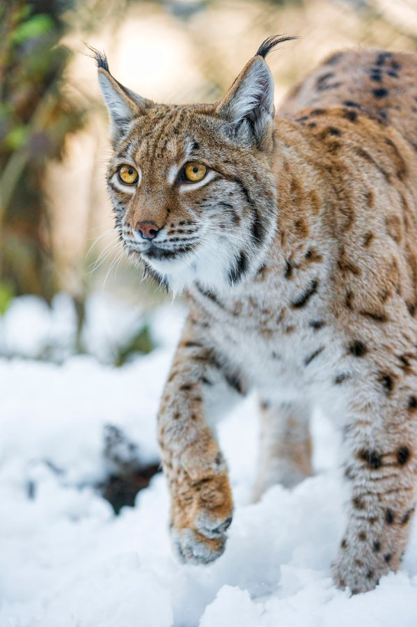 Lynx.habitat almost every where. Cat breeds, Cat breeds