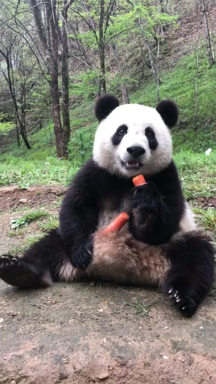 #panda #pets #petsvideo