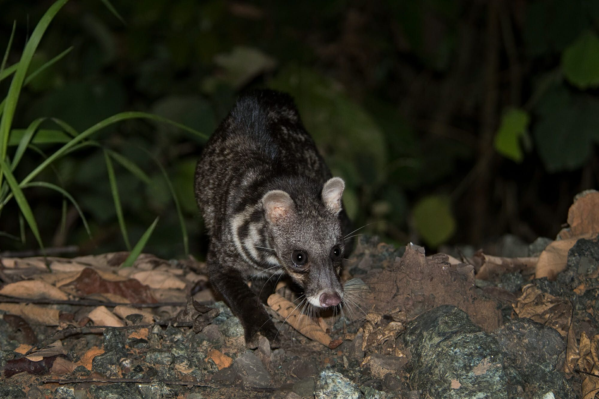 Malay civet, Viverra tangalunga Joel Sartore Photography