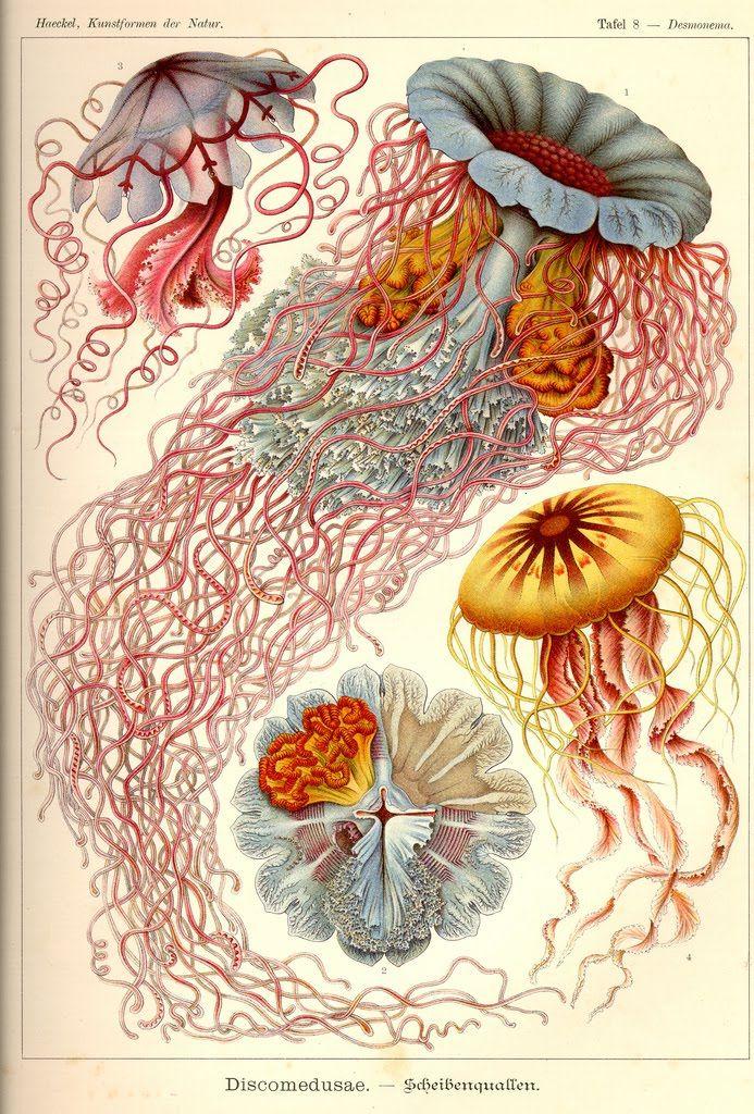 Haeckel - Desmonema Annasethe