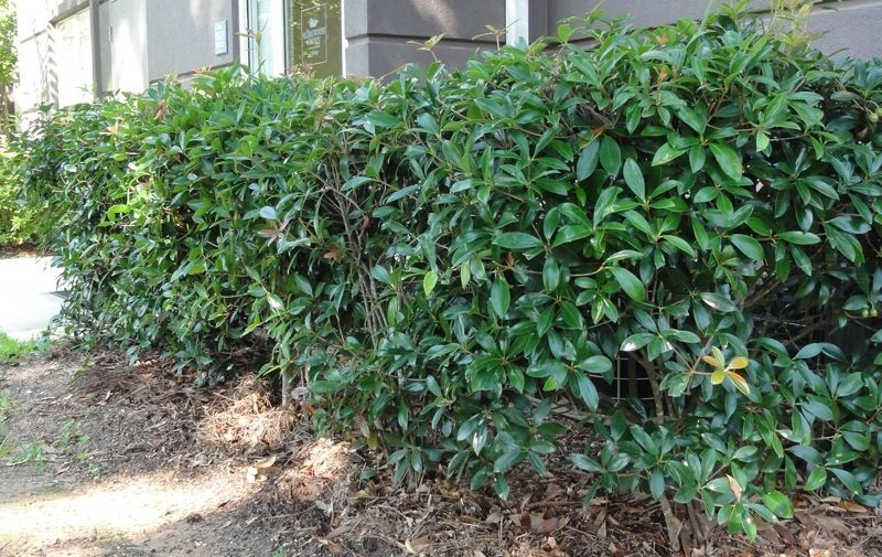 Cleyera Hedge In Front Of Air Conditioners On Side Of