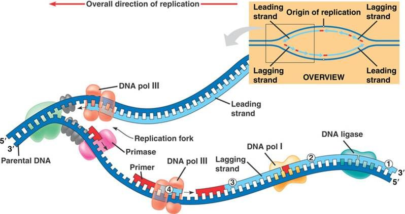 Dna replication with labeled enzymes educationhomework helpers dna replication with labeled enzymes ccuart Choice Image