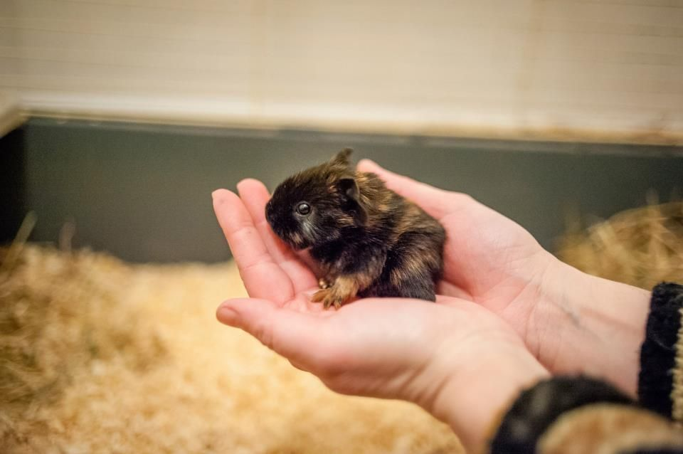 My brothers female guinea pig as a one day old - Ciupinka