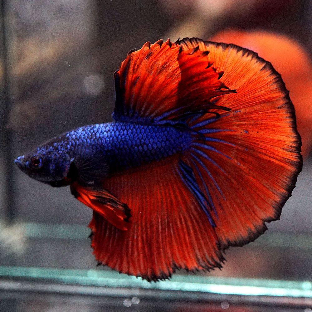 Live Betta Fish Male **SUPER BLUE RED Halfmoon HM | Betta fish ...
