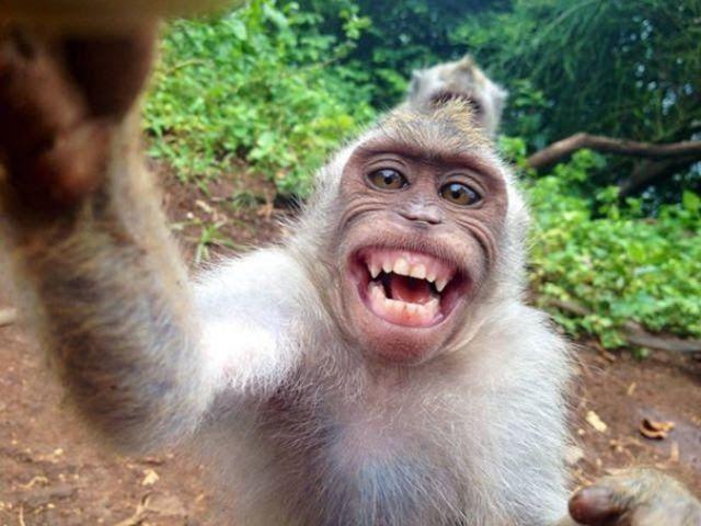 Download Gambar Monyet Lucu Lumayan Bisa Menghibur Anak Kecil Kumpulan Gambar Monyet Lucu Yang Menggemaskan Funny Cats And Dogs Monkeys Funny Funny Animals