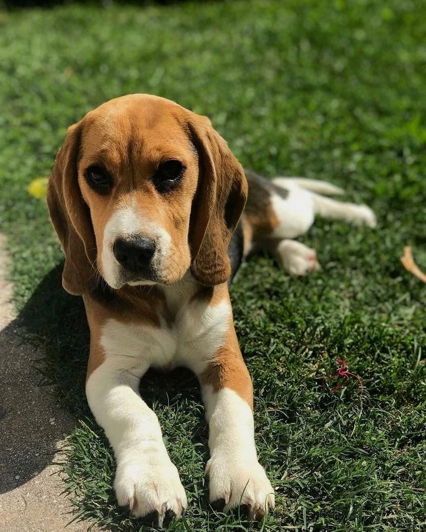 Find Out More On The Merry Beagle Puppy Exercise Needs Beagleofinstagram Beagle Shoutout Beaglestraining Beagle Puppy Dog Breeds Beagle Dog