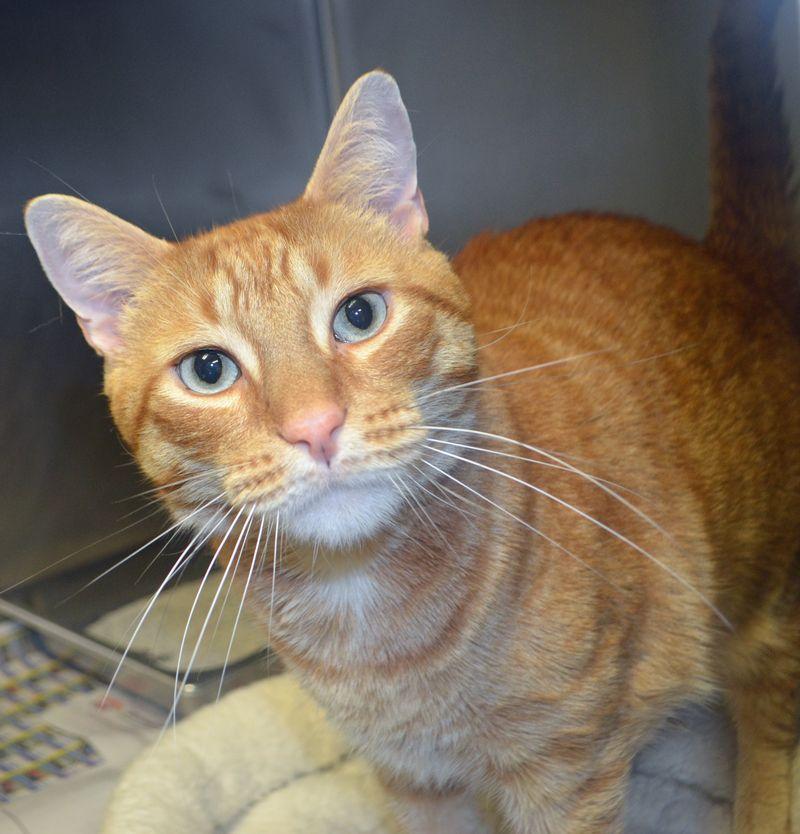 Adopt Mr. Moto on Humane society, Adoption, Cats