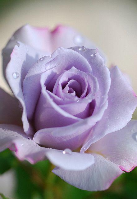 Rose In Violet Purple Roses Purple Flowers Beautiful Roses