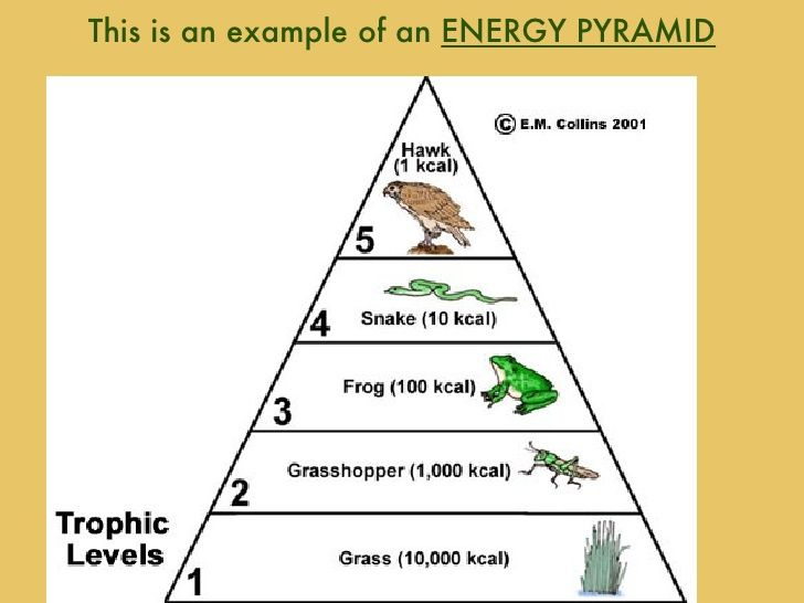 An example of an energy pyramid in the tropic levels. | 7th Grade ...
