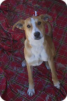 Media Pa Carolina Dog Whippet Mix Carolina Dog Dogs