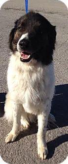Fort Worth Tx Australian Shepherd Border Collie Mix Meet Buddy A Dog For Adoption Kitten Adoption Dog Adoption Australian Shepherd