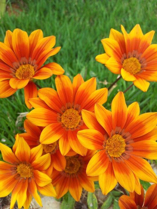 Flores silvestres flores chilenas silvestres pinterest - Tipos de flores silvestres ...