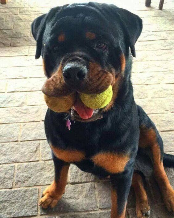 Rottweiler Tap The Pin For The Most Adorable Pawtastic Fur Baby