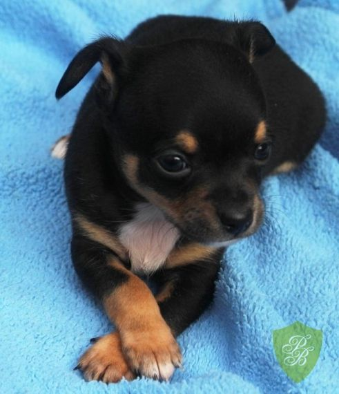 St Louis Mo Chihuahua Rat Terrier Mix Meet Danny Darling A
