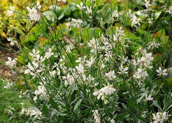 7 hardy perennials to plant and enjoy now gardens a butterfly and 7 hardy perennials to plant and enjoy now mightylinksfo
