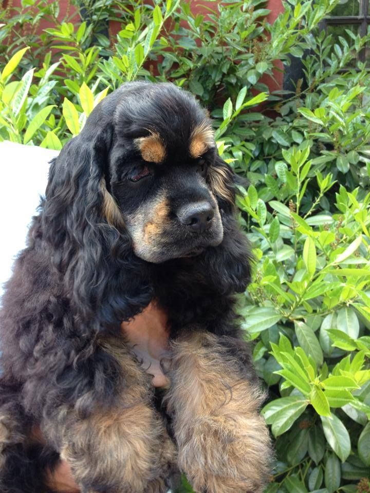 I Love The Black And Brown Coloring American Cocker Spaniel Puppies