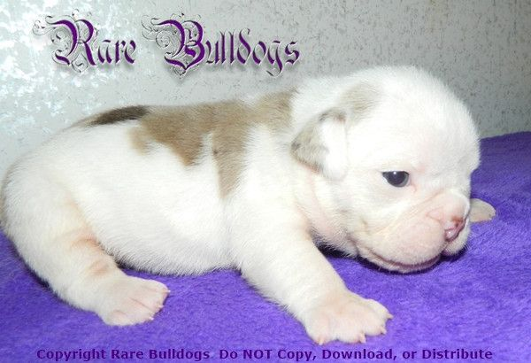 Available Soon Akc Chocolate Tri Merle English Bulldog Girl Meet