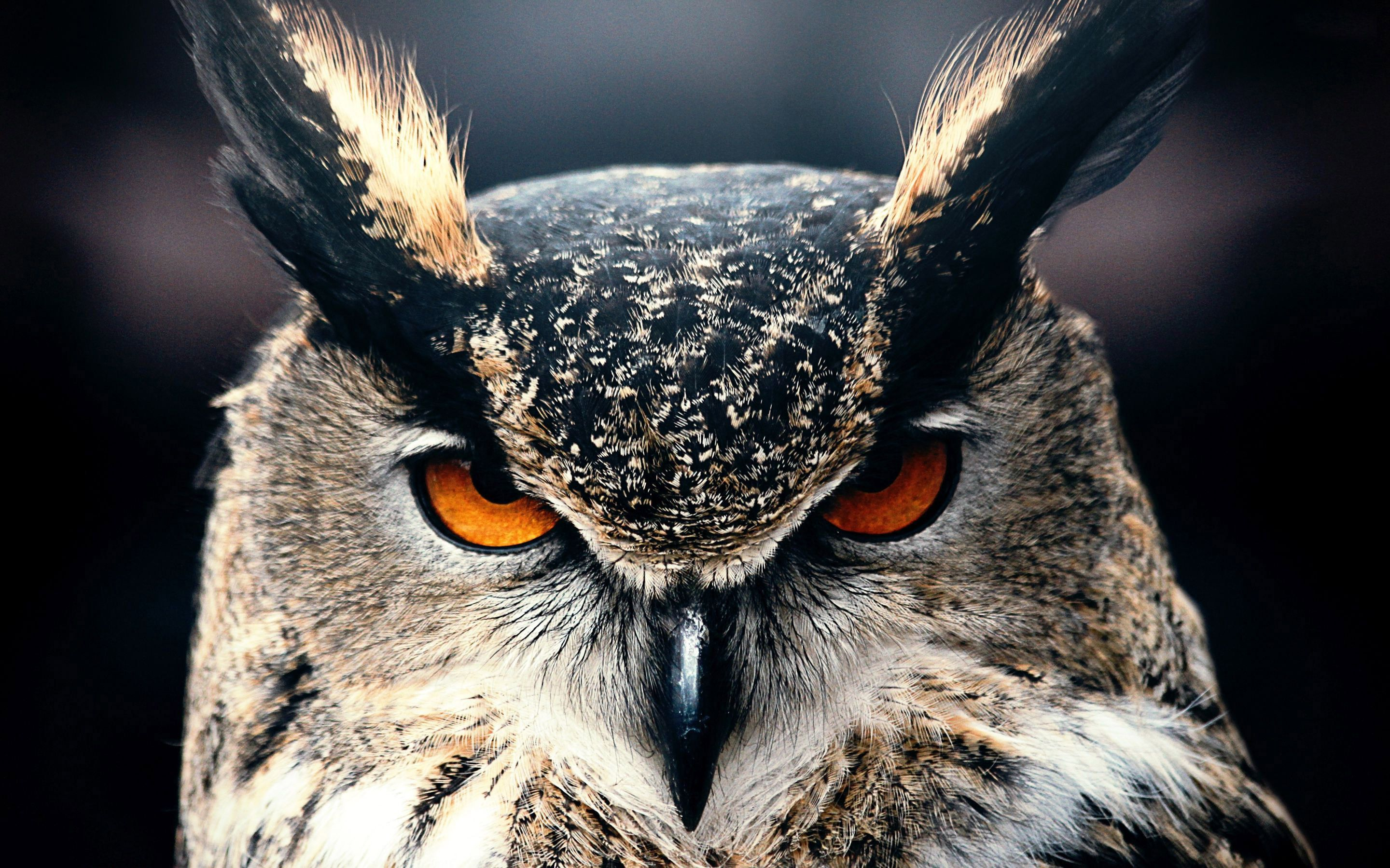 OwlFaceCloseupWallpaperHD.jpg (2880×1800) Owl eyes