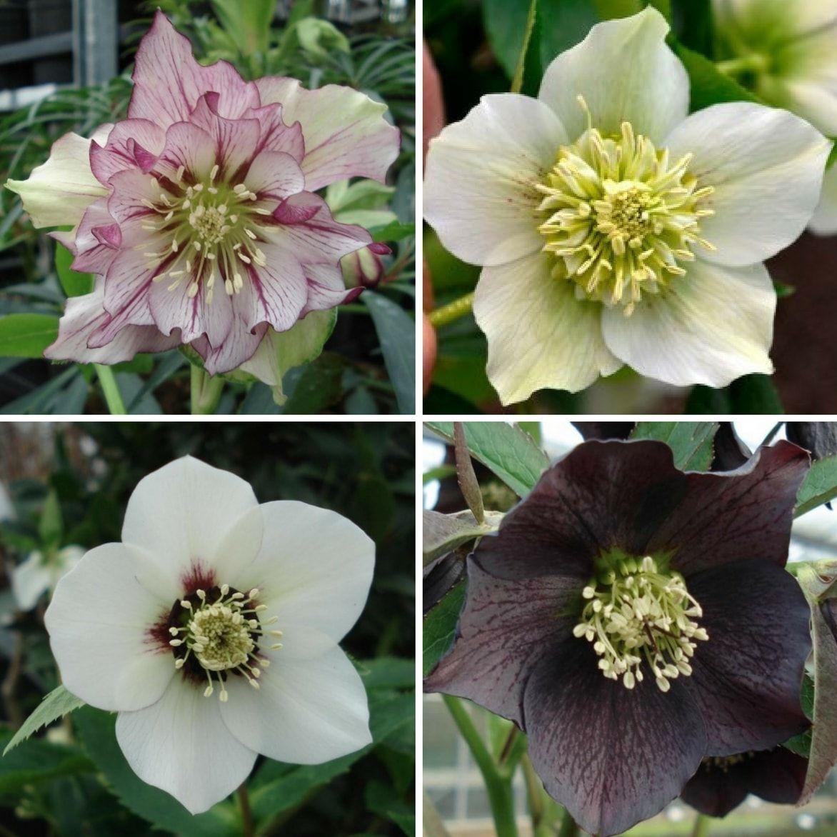 Hellebore Rose De Noel Entretien hellébores : les planter, les cultiver   rose de noel