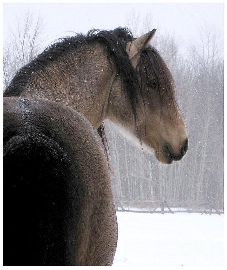 Midas And First Snow Beautiful Horses Horses Pretty Horses