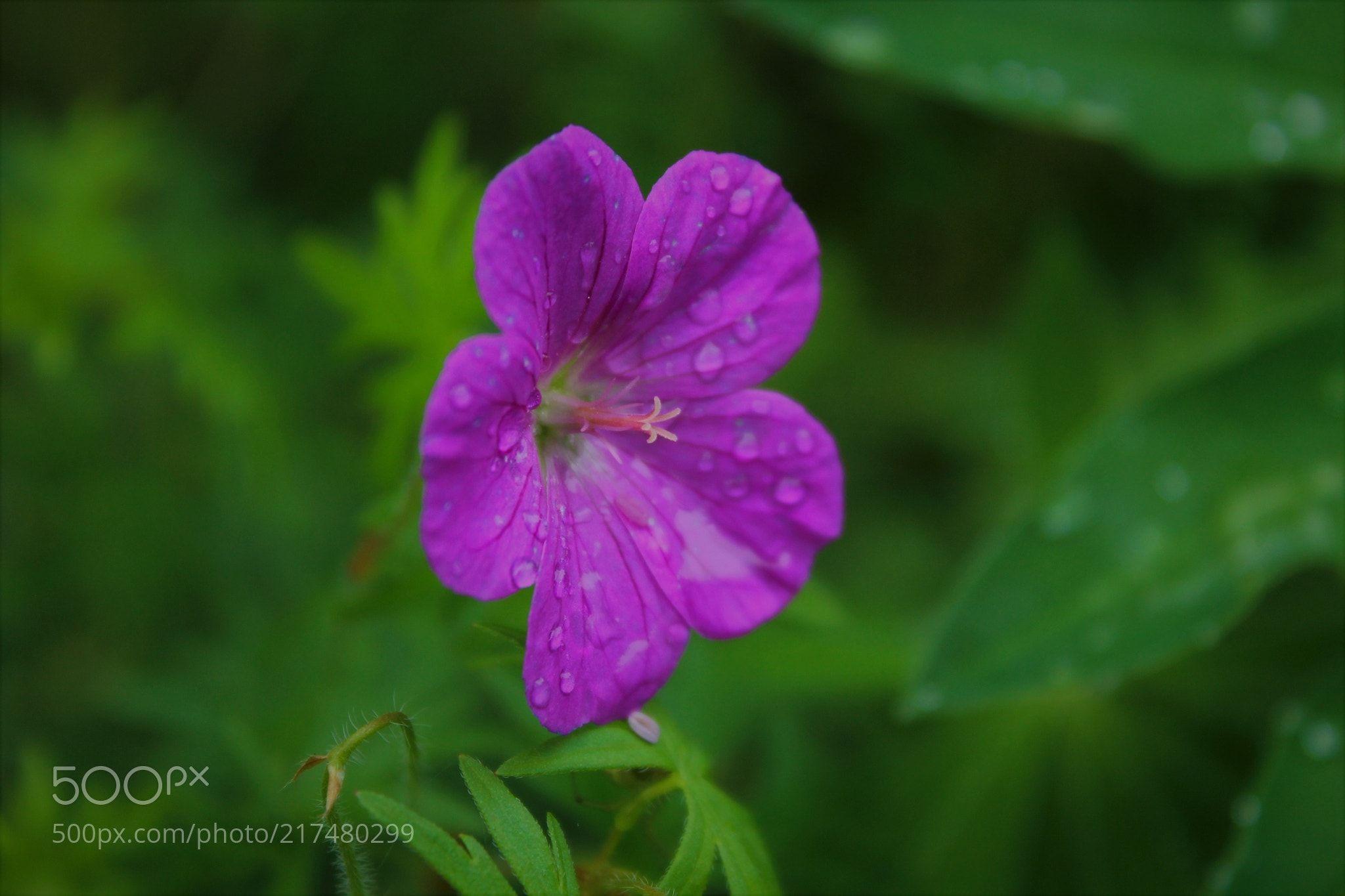 Purple Flower In Green Grass Jake Pause Minsk Belarus Canon