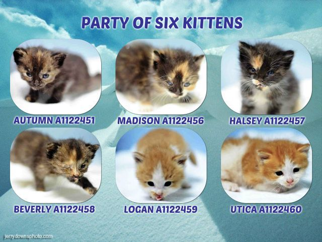 Party Of Six Kittens A1122451 A1122456 A1122457 A1122458 A1122459 A1122460 Kittens Foster Cat Cat Adoption