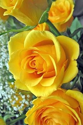 Rose yellow joy jealousy friendship one yellow rose with 11 rose yellow joy jealousy friendship one yellow rose with 11 mightylinksfo Images