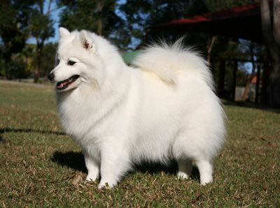 The Japanese Spitz Are Adorable At Any Age Looks Like Sophie