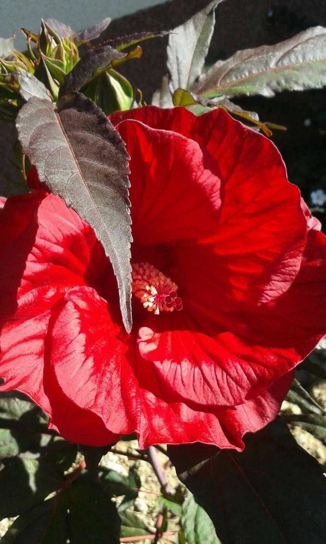 Hibiskus Bagienny Flowers Plants Rose