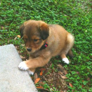 My New Baby Golden Retriever German Shepherd Chow Mix Named