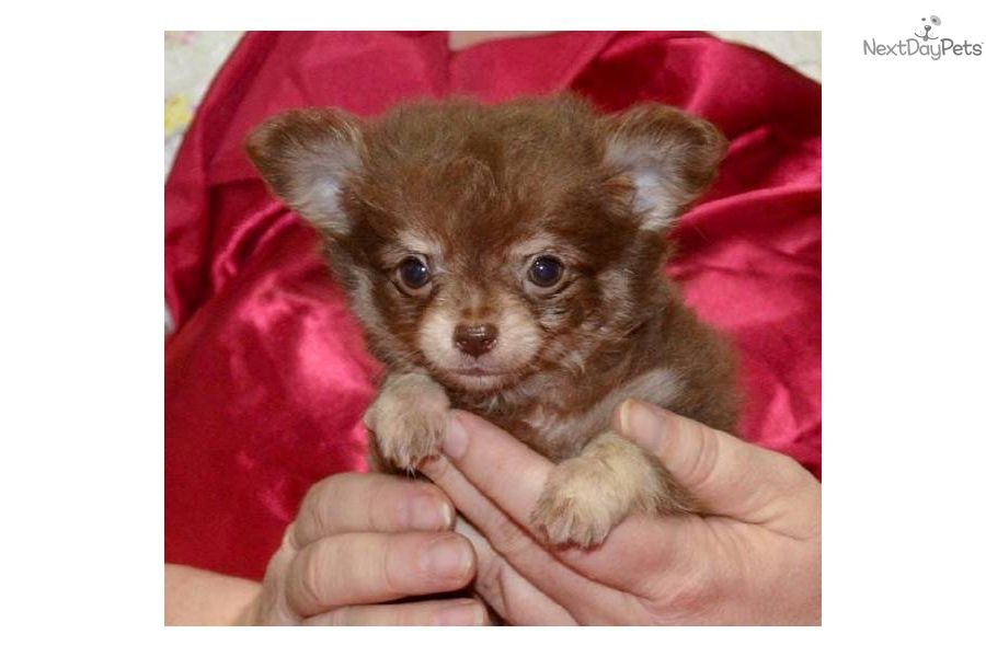 Chocolate Chihuahua Puppies For Sale Chihuahua For Sale For 600