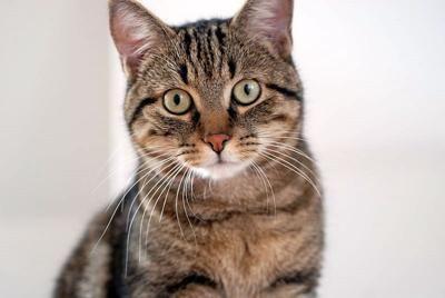 European Shorthair Beautiful Brown Mackerel Tabby Quincy More Below Cat Breeds Domestic Cat Breeds Cats