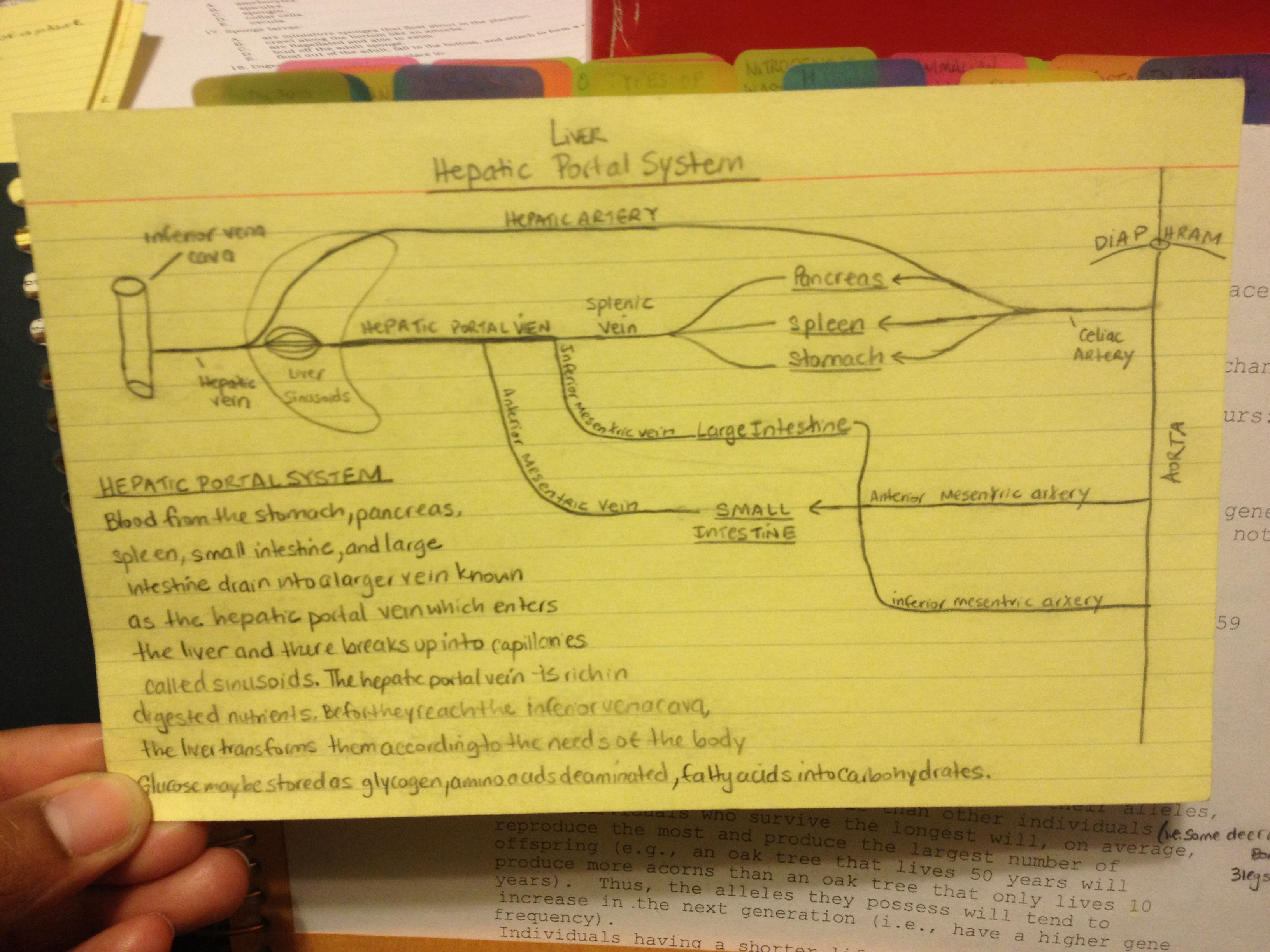 Notes from my undergrad days. Hepatic Portal System overview | Nerd ...