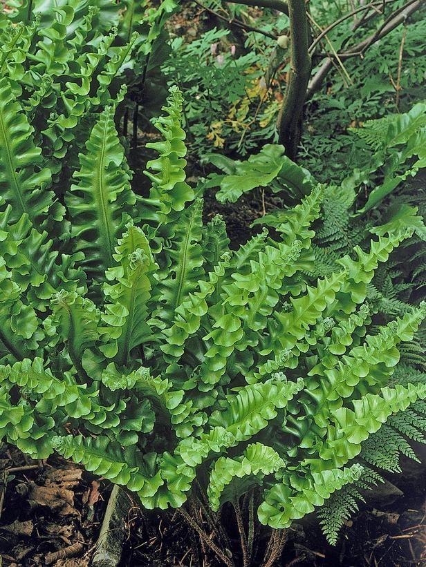 Hart's Tongue <i>(Asplenium scolopendrium)</i> - 18 Ideal Groundcover Plants for Dry Shade  on HGTV
