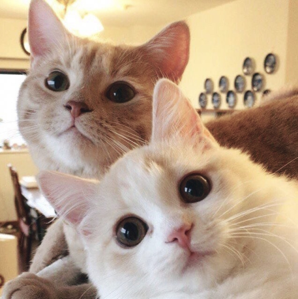 Kittens For Sale Brisbane Area Ginger Females Cats